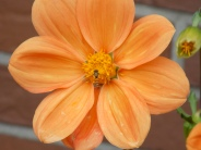 Dahlie_orange