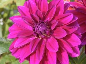 Dahlie lila 1