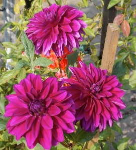 Dahlie lila 3