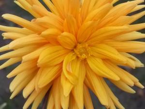 Dahlie orange 1