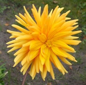 Dahlie orange 2