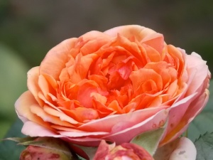 Rose rölich 1