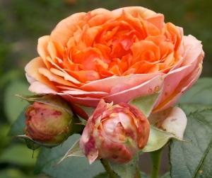 Rose rötlich 2