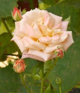 Rose rosa 1