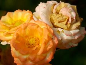 Rose rosa 3